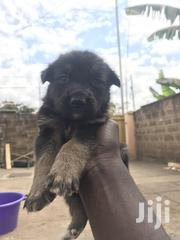 German Shepherd Cross Available | Dogs & Puppies for sale in Nairobi, Harambee