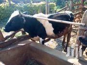 Bull For Sale | Livestock & Poultry for sale in Nyeri, Karatina Town