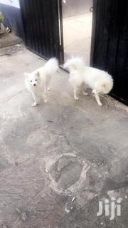 Japanese Spitz | Dogs & Puppies for sale in Mombasa, Shanzu