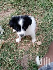 Japanese Spitz And Maltese Mix Puppies /Fully Vaccinated And Dewormed | Dogs & Puppies for sale in Nairobi, Karen