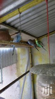 Colourd Budgies | Birds for sale in Mombasa, Tononoka
