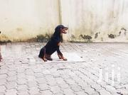 Male Rottweiler Puppy | Dogs & Puppies for sale in Mombasa, Bamburi