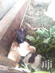 Rabbits For Sale | Livestock & Poultry for sale in Machakos, Matungulu West