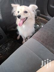 Japanese Spitz | Dogs & Puppies for sale in Kisii, Kisii Central