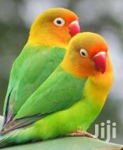 Love Birds | Birds for sale in Mombasa, Bamburi
