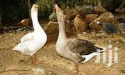 Geese For Sale   Livestock & Poultry for sale in Murang'a, Kakuzi/Mitubiri