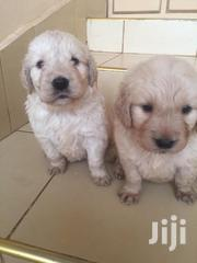 Golden Retriever Puppies | Dogs & Puppies for sale in Nairobi, Nairobi Central
