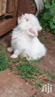 Cute Female Maltese | Dogs & Puppies for sale in Nairobi, Nairobi Central