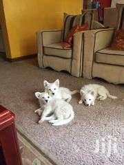 Japanese Spitz Puppies | Dogs & Puppies for sale in Nairobi, Harambee