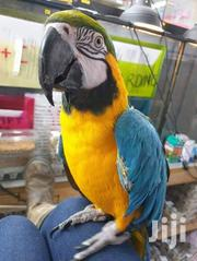 Macaw For Good Home | Birds for sale in Nairobi, Nairobi Central