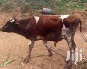 Ashire Bull 18mnths | Livestock & Poultry for sale in Machakos, Kathiani Central