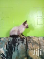 Siamese Kitten | Cats & Kittens for sale in Nairobi, Kileleshwa