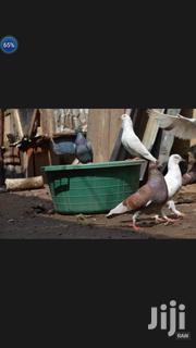 Pegions Female And Male | Birds for sale in Nairobi, Kariobangi South