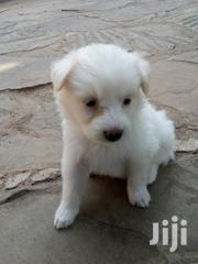 Cross Pomerian Puppies | Dogs & Puppies for sale in Mombasa, Mkomani