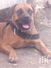 Pure Boerboel Breeds/Puppies | Dogs & Puppies for sale in Nairobi, Nairobi Central