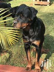 Rottweilers | Dogs & Puppies for sale in Kiambu, Township E