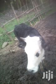 Heifer Cow | Livestock & Poultry for sale in Nyandarua, Kaimbaga