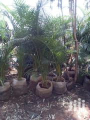 Golden Palm, Royal Palm, Cycad Palm Etc | Garden for sale in Nairobi, Karen