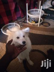 I Sell Dogs And Train Them | Dogs & Puppies for sale in Uasin Gishu, Kapsoya