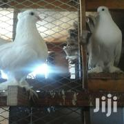 786-110pure Breed Indian Funtail Pair | Birds for sale in Mombasa, Kadzandani