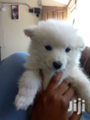 Two Month Old Puppies Fluffy Curly Tail Mixed Samoyed/Japanese Spitz | Dogs & Puppies for sale in Nairobi, Harambee