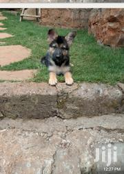Lovely Puppies for Sale | Dogs & Puppies for sale in Kiambu, Kabete