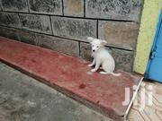 Cross Spitz And Maltese | Dogs & Puppies for sale in Nakuru, Nakuru East