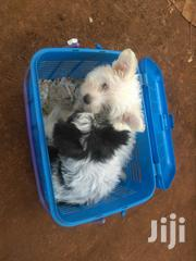 Pure Breed Cairn Terrier Puppies | Dogs & Puppies for sale in Nairobi, Nairobi Central