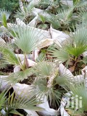 Washingtonia Palm | Feeds, Supplements & Seeds for sale in Uasin Gishu, Kapsoya