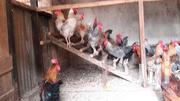 Cocks For Sale | Livestock & Poultry for sale in Kiambu, Chania