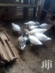 Selling Mature Geese At An Affirdable Price | Birds for sale in Embu, Kagaari North