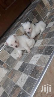 Mix Breed On Pomeranian And Maltese | Dogs & Puppies for sale in Mombasa, Bamburi