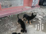 Pure German Shepherd Puppies 4 Months Old. | Dogs & Puppies for sale in Nairobi, Kahawa