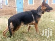 6 Months Old German Shepherd | Dogs & Puppies for sale in Nairobi, Kahawa West