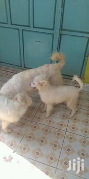 Maltase Spitz Puppies for Sale 25k | Dogs & Puppies for sale in Nairobi, Kahawa West