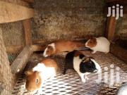 Guinea Pig | Other Animals for sale in Kakamega, Marama North