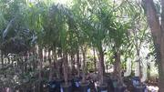 Royal Palms 13 Pieces | Garden for sale in Mombasa, Bamburi
