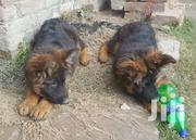 GSD Puppies Long Coat | Dogs & Puppies for sale in Kiambu, Lari/Kirenga