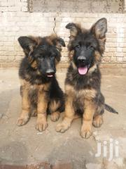 GSD Puppies Long Coat | Dogs & Puppies for sale in Kiambu, Township E