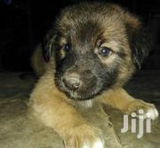 Long Coat Puppies | Dogs & Puppies for sale in Kajiado, Kitengela
