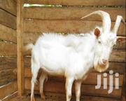 HE Goat For Sale | Livestock & Poultry for sale in Kiambu, Kikuyu