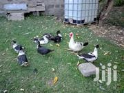 Muscovy Ducks | Livestock & Poultry for sale in Laikipia, Thingithu