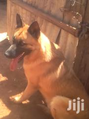 Dogs And Training | Dogs & Puppies for sale in Machakos, Machakos Central