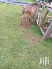 Diary Goats | Livestock & Poultry for sale in Nairobi, Kahawa West