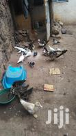 Pigeons For Sell | Birds for sale in Umoja II, Nairobi, Nigeria