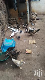Pigeons For Sell | Birds for sale in Nairobi, Umoja II