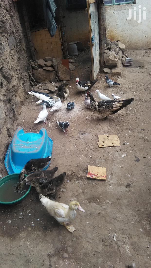 Archive: Pigeons For Sell