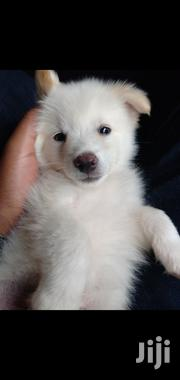 Japanese Spitz | Dogs & Puppies for sale in Nairobi, Nairobi Central