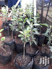 Apples Seedlings | Feeds, Supplements & Seeds for sale in Nairobi, Kileleshwa