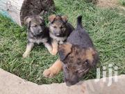 German Shepherd Puppies | Dogs & Puppies for sale in Nairobi, Kitisuru